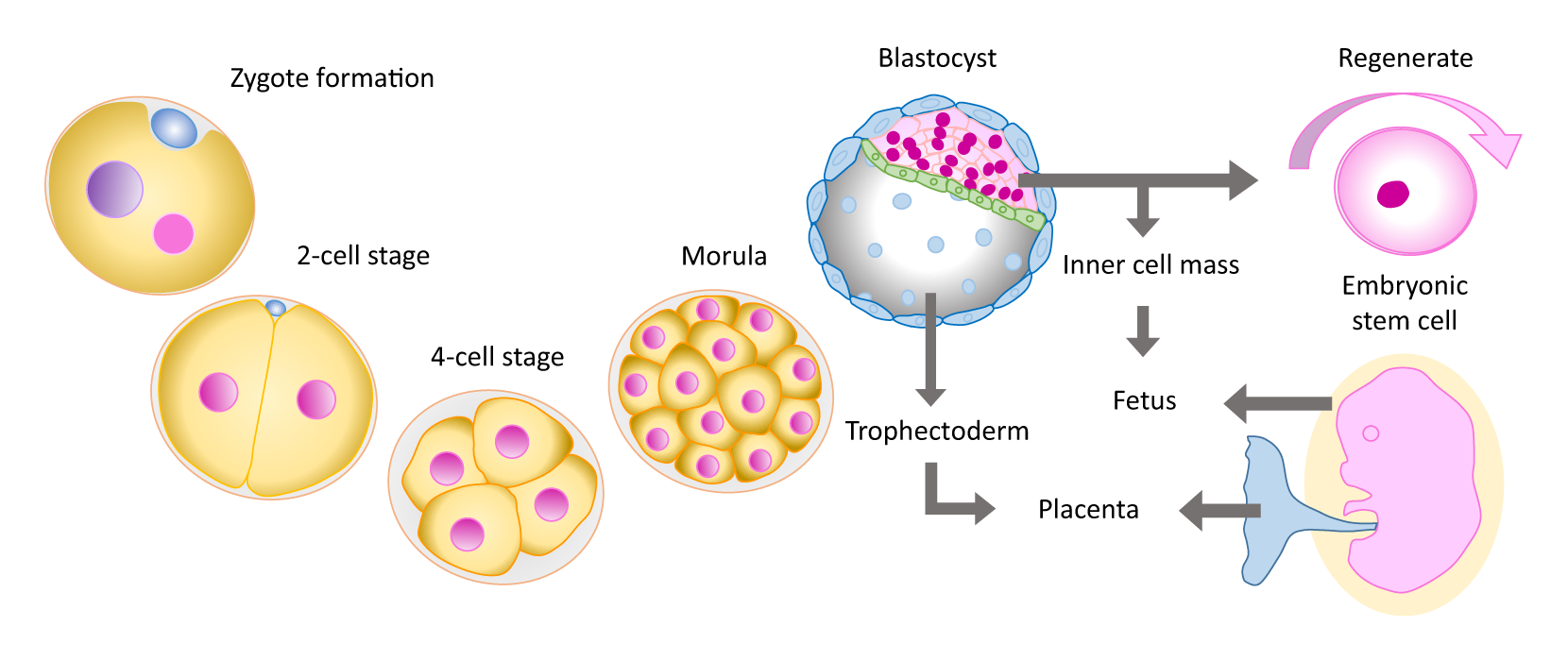 persuasive essay on embryonic stem cell research A persuasive essay for the use of stem cells for research essay i believe that embryonic stem cell research shows save time and order a persuasive essay for.